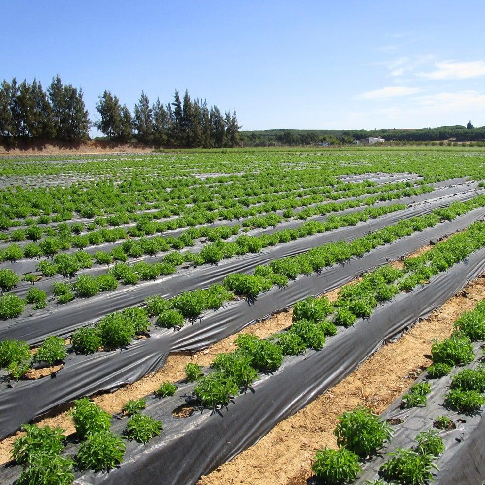 Junge Stevia Plantage   Anbau in Portugal.